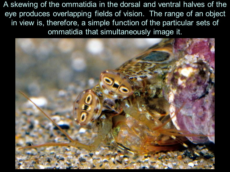 A skewing of the ommatidia in the dorsal and ventral halves of the eye produces overlapping fields of vision.