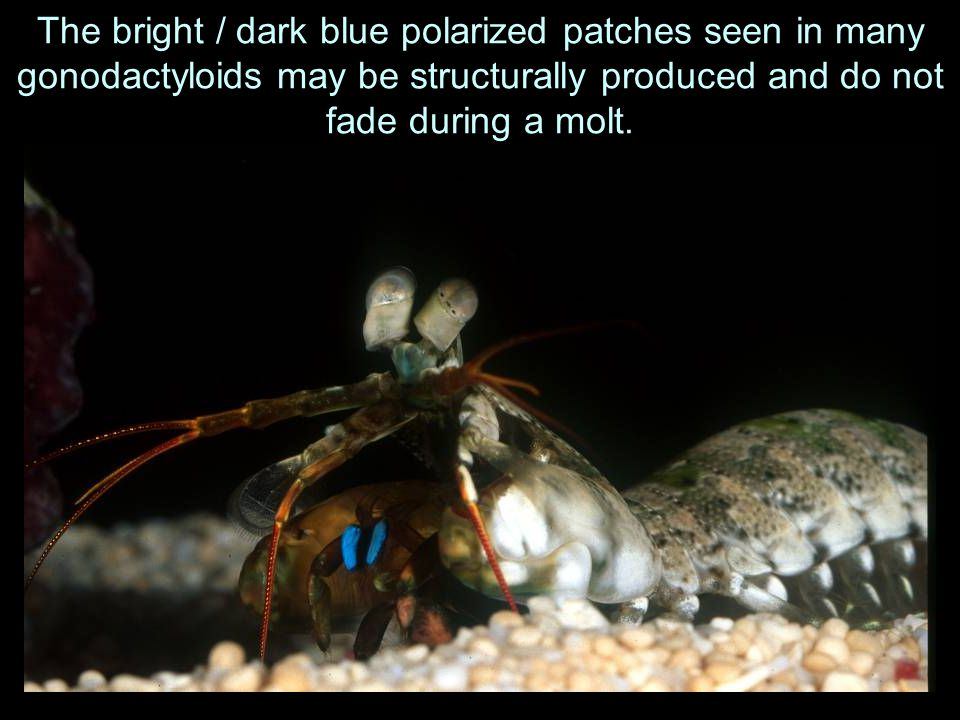 The bright / dark blue polarized patches seen in many gonodactyloids may be structurally produced and do not fade during a molt.