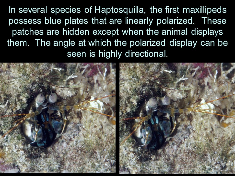 In several species of Haptosquilla, the first maxillipeds possess blue plates that are linearly polarized.