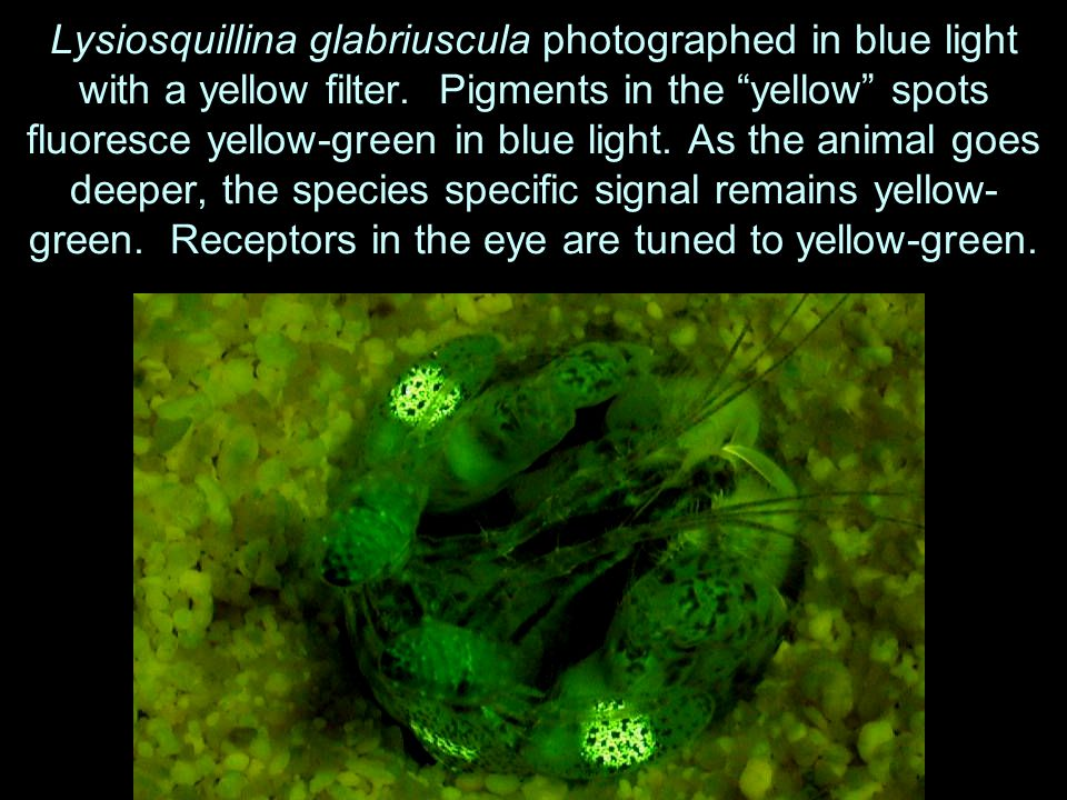 Lysiosquillina glabriuscula photographed in blue light with a yellow filter.