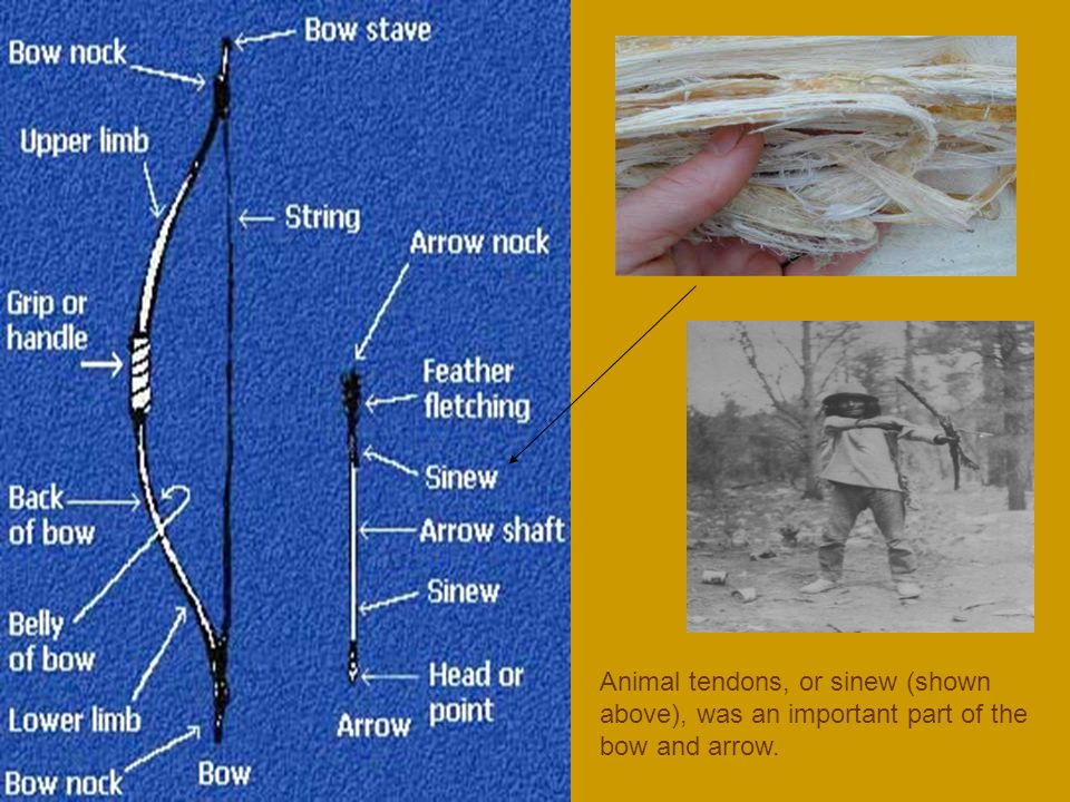 Animal tendons, or sinew (shown above), was an important part of the bow and arrow.