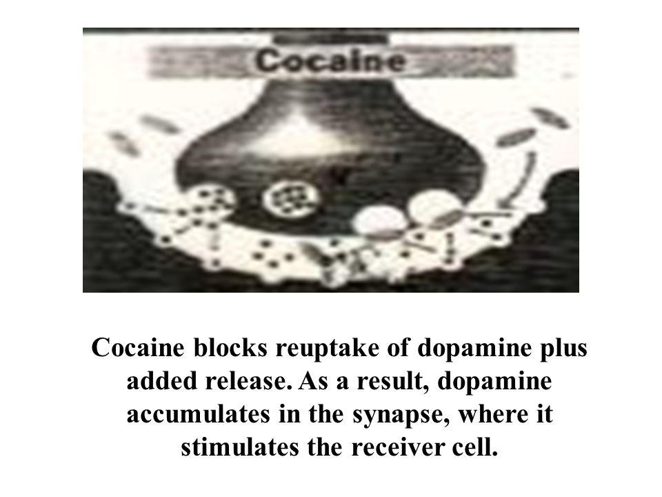 Cocaine blocks reuptake of dopamine plus added release