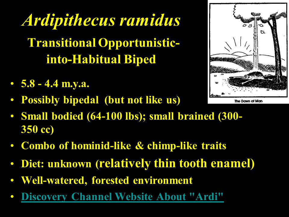 Ardipithecus ramidus Transitional Opportunistic-into-Habitual Biped
