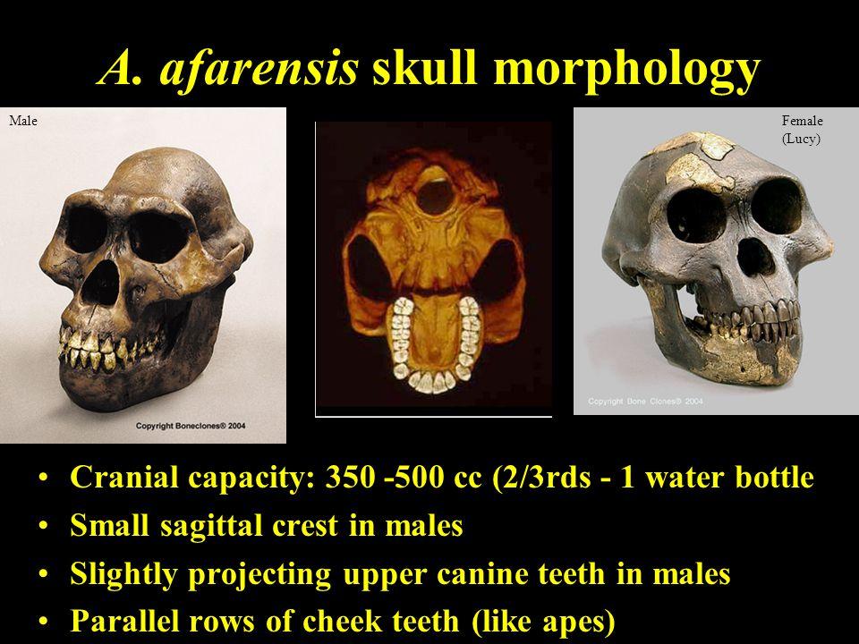 A. afarensis skull morphology