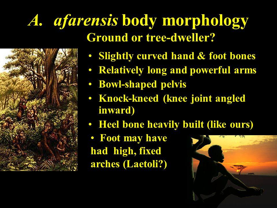 afarensis body morphology Ground or tree-dweller
