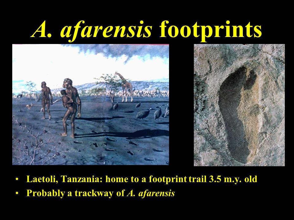 A. afarensis footprints