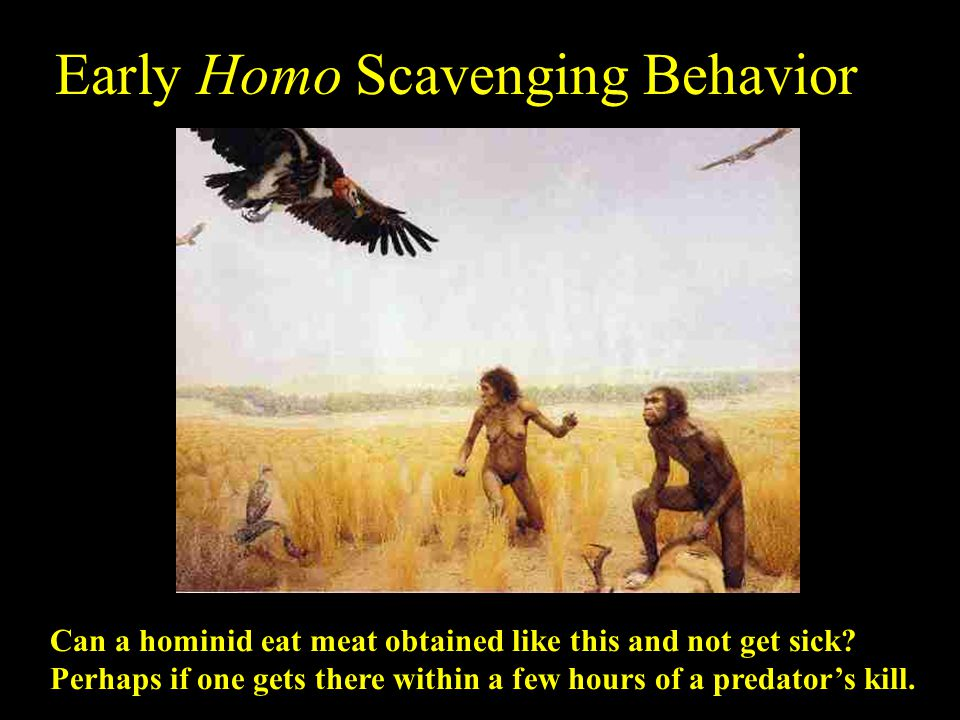Early Homo Scavenging Behavior