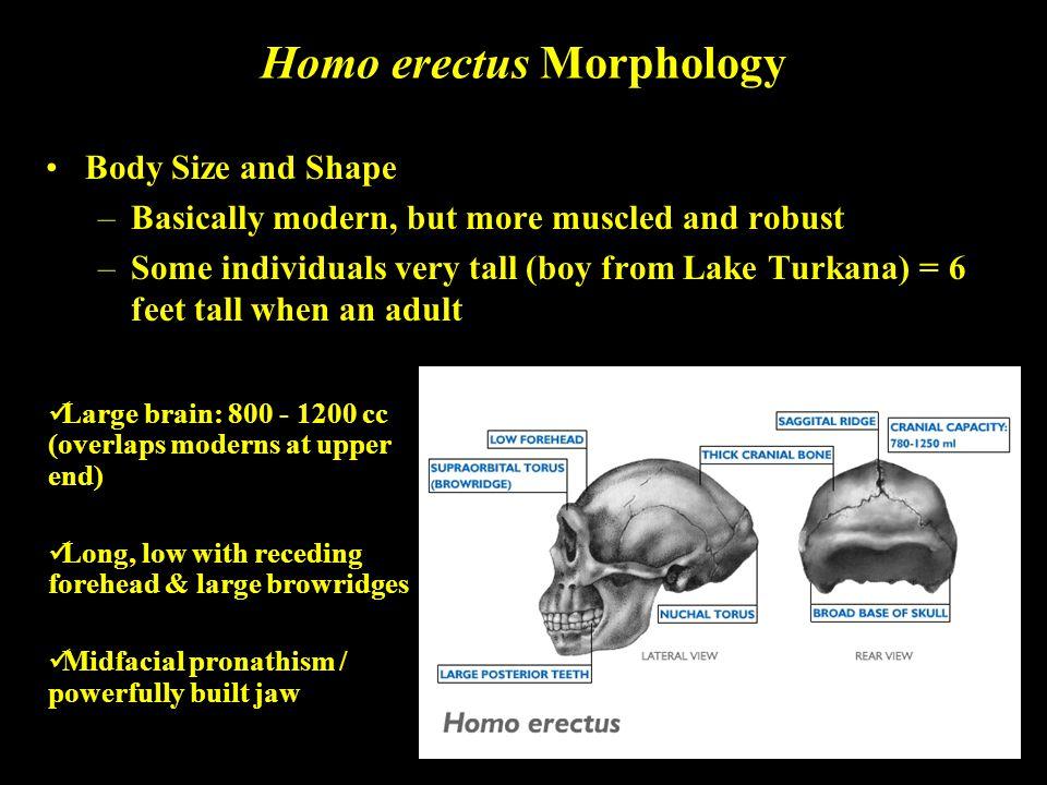 Homo erectus Morphology