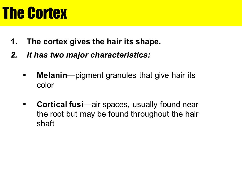 The Cortex The cortex gives the hair its shape.