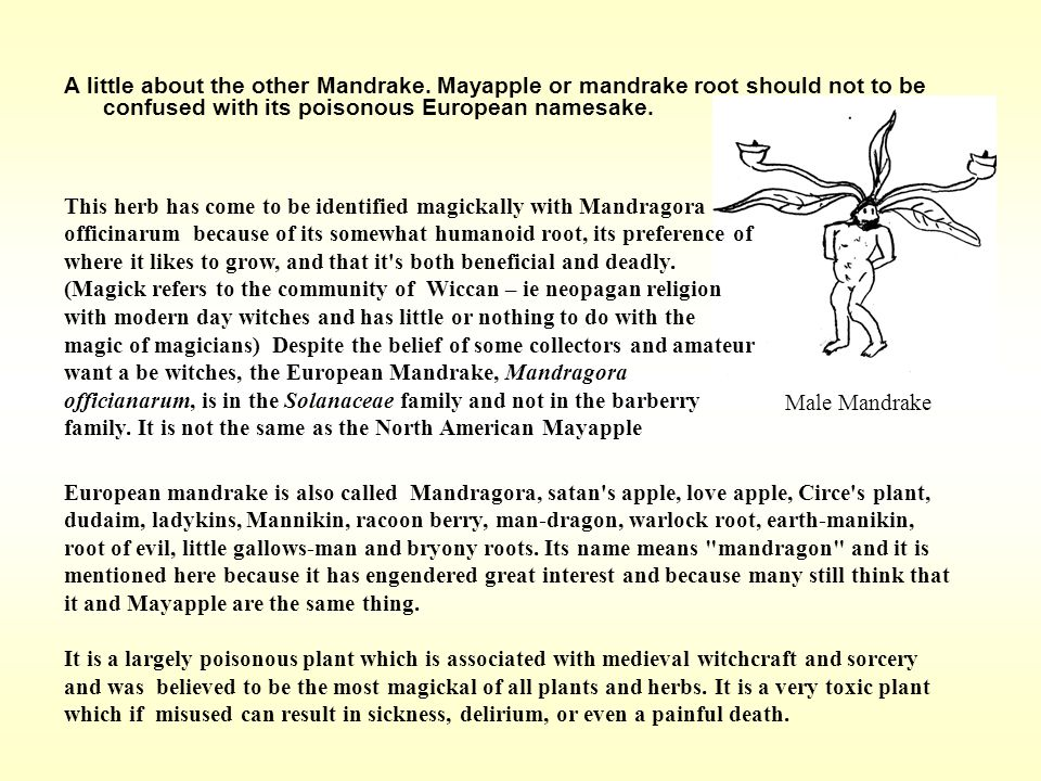 A little about the other Mandrake