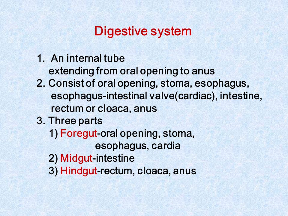 Digestive system An internal tube extending from oral opening to anus
