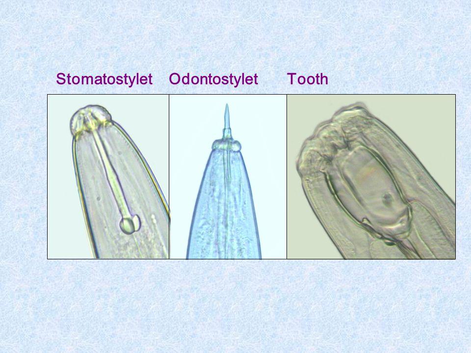 Stomatostylet Odontostylet Tooth