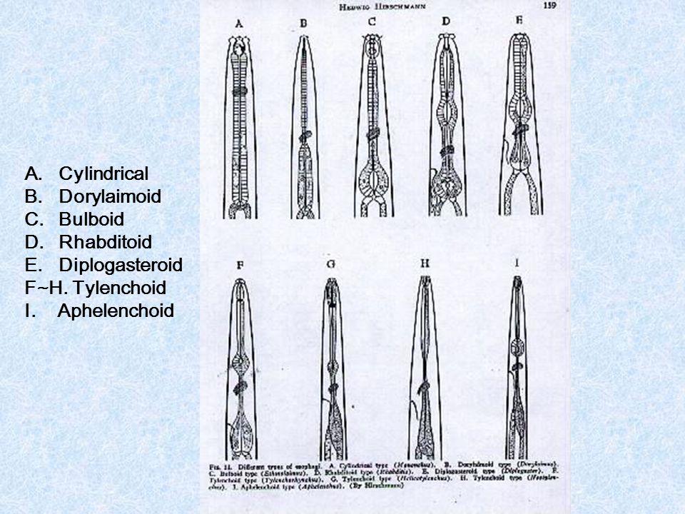 Cylindrical Dorylaimoid Bulboid Rhabditoid Diplogasteroid F~H. Tylenchoid I. Aphelenchoid