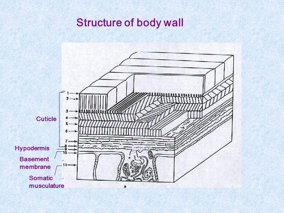 Structure of body wall Cuticle Hypodermis Basement membrane Somatic
