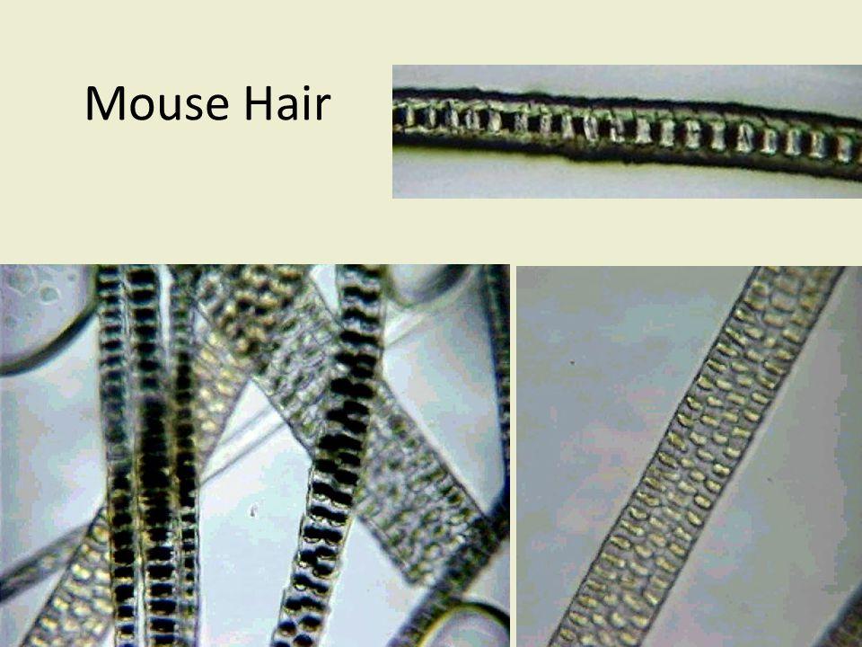 Mouse Hair