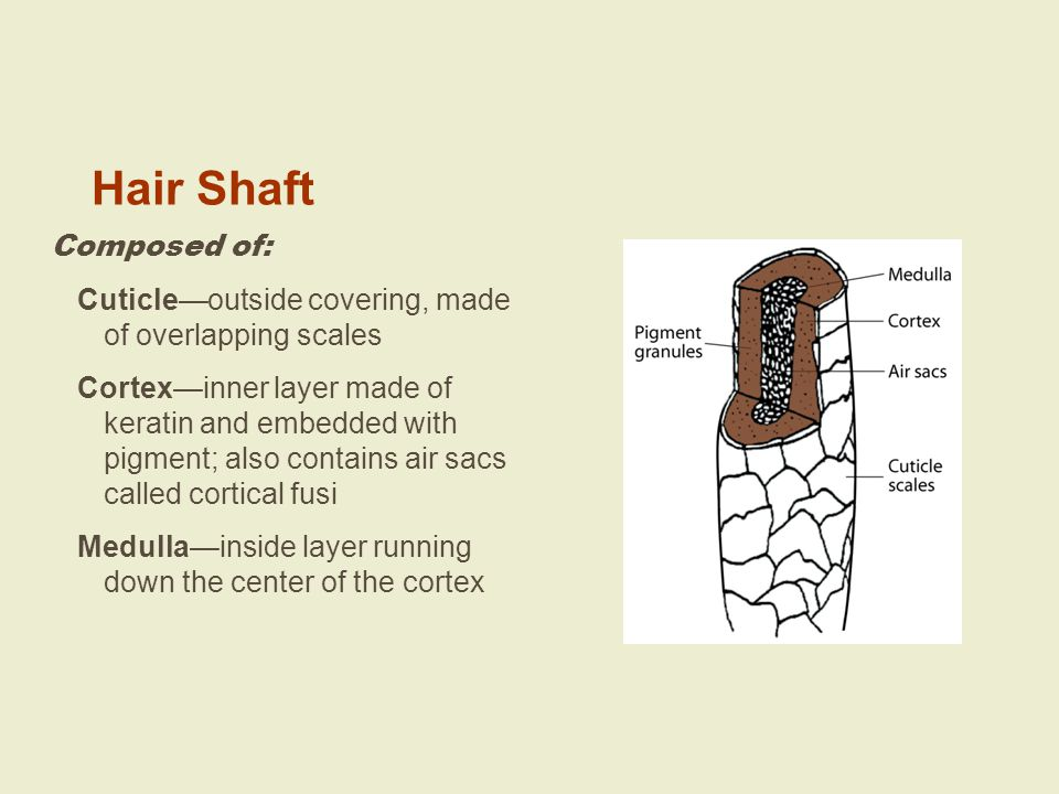 Hair Shaft Composed of: