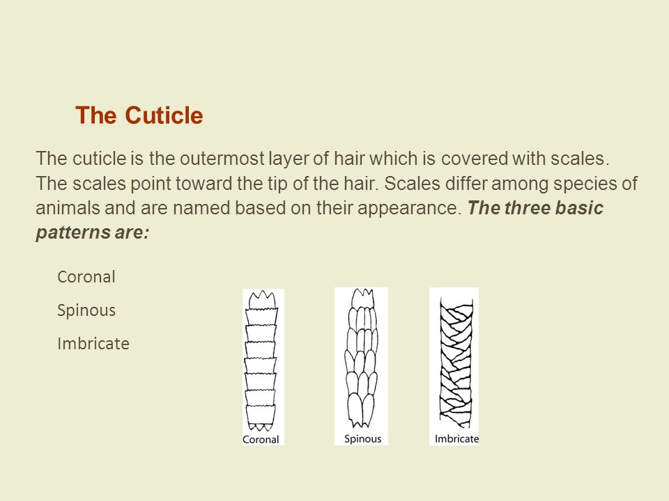 The Cuticle