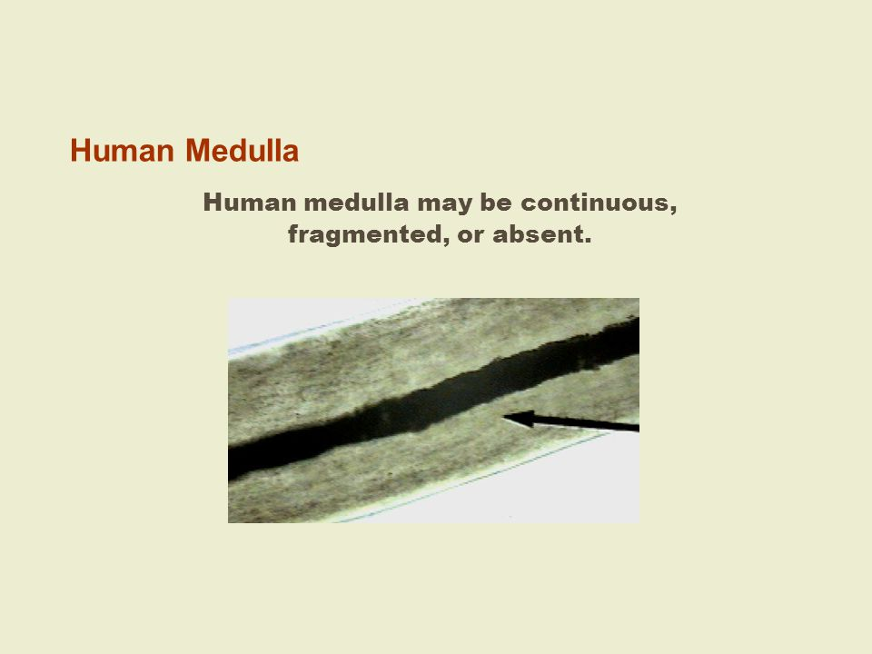Human medulla may be continuous,