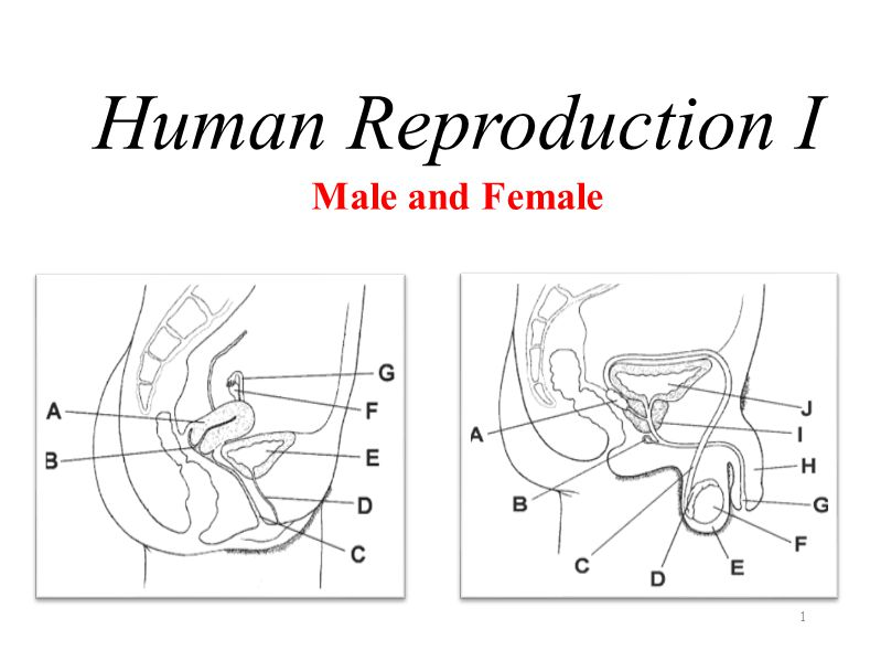 Human Reproduction I Male and Female