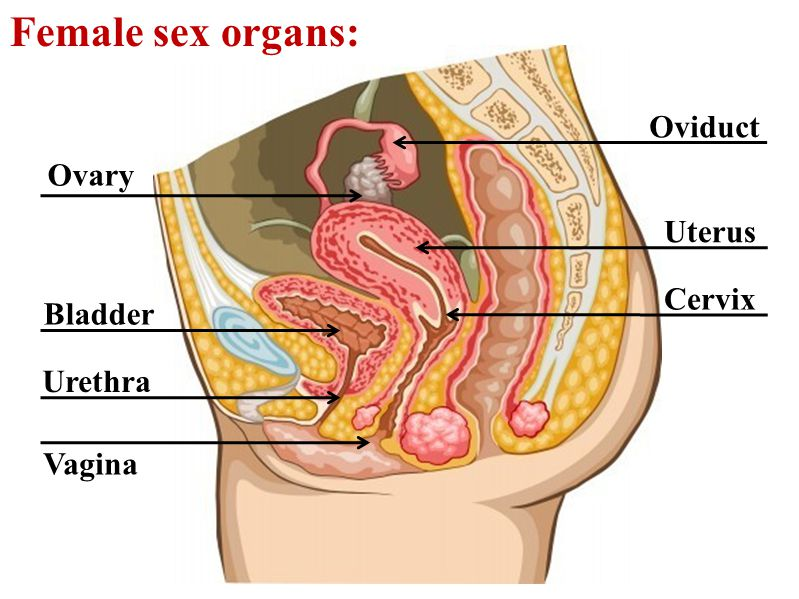 Female sex organs: Oviduct Ovary Uterus Cervix Bladder Urethra Vagina