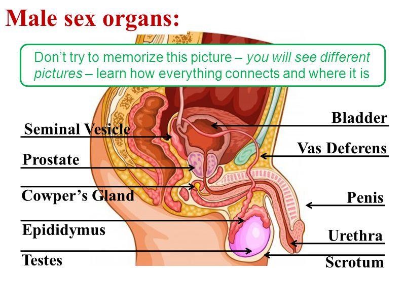 Male sex organs: Bladder Seminal Vesicle Vas Deferens Prostate