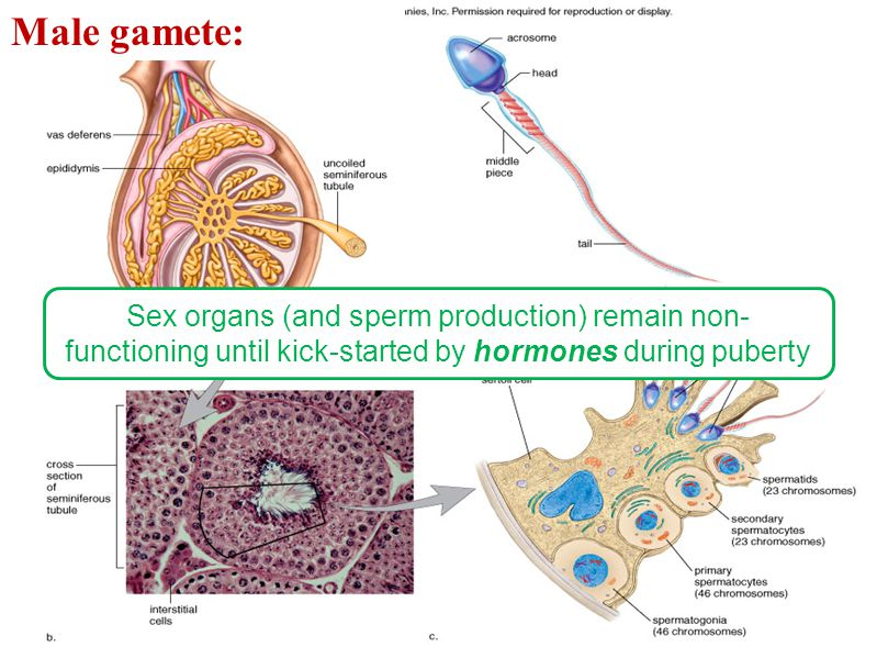 Male gamete: Sex organs (and sperm production) remain non-functioning until kick-started by hormones during puberty.