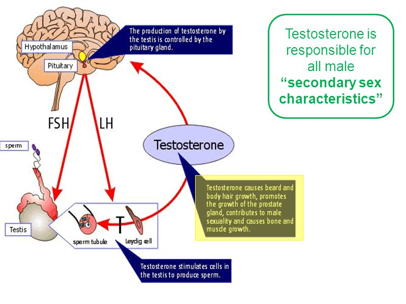 Testosterone is responsible for all male secondary sex characteristics