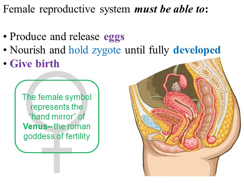 Female reproductive system must be able to: Produce and release eggs