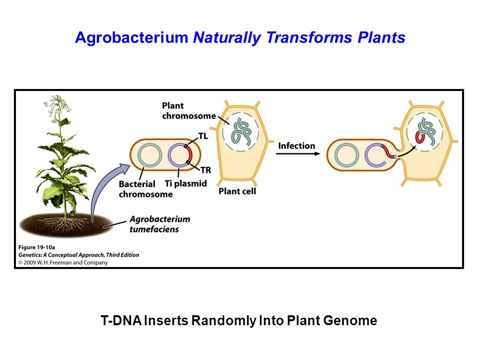 Agrobacterium Naturally Transforms Plants