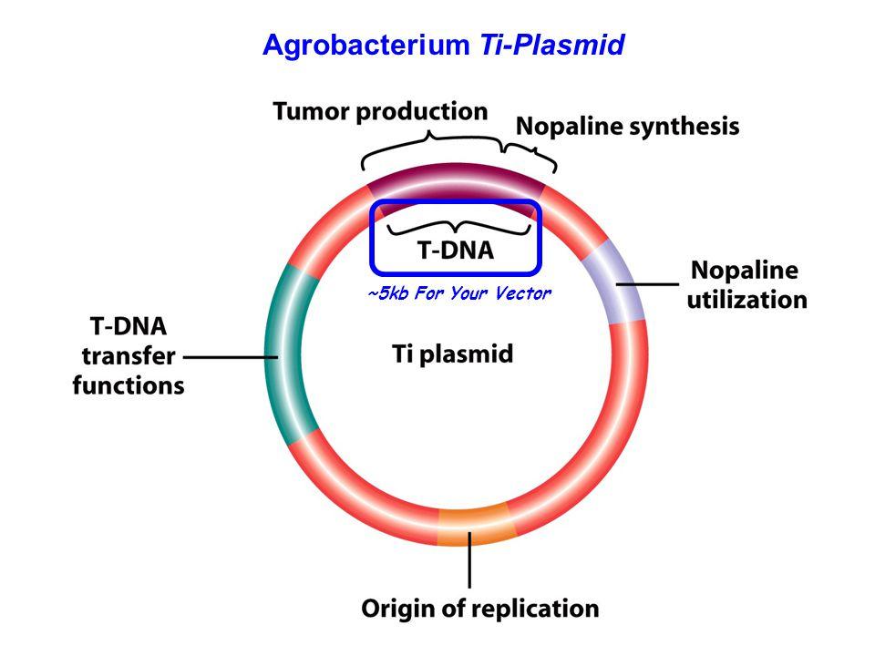 Agrobacterium Ti-Plasmid