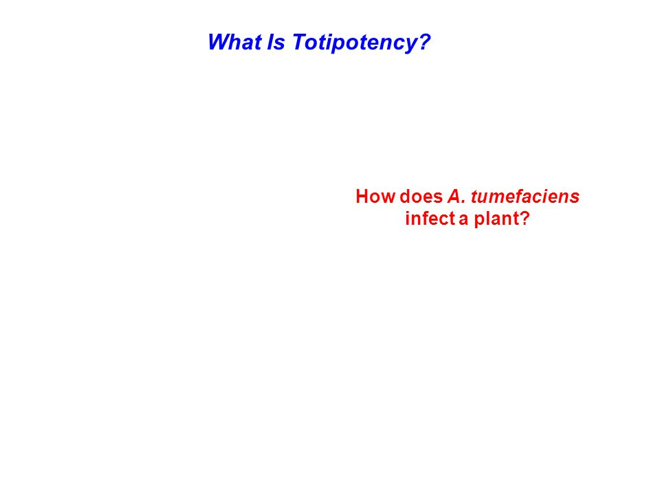 How does A. tumefaciens infect a plant