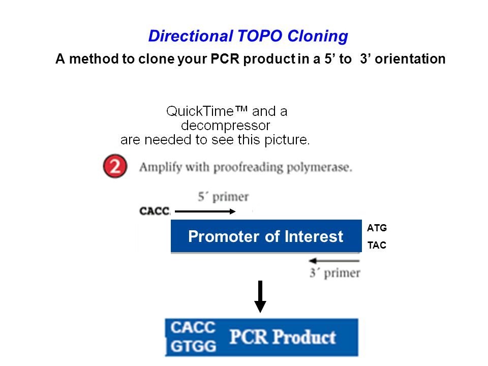 Directional TOPO Cloning A method to clone your PCR product in a 5' to 3' orientation