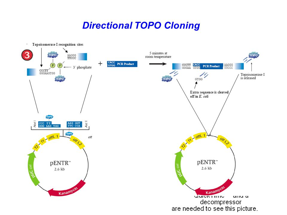Directional TOPO Cloning
