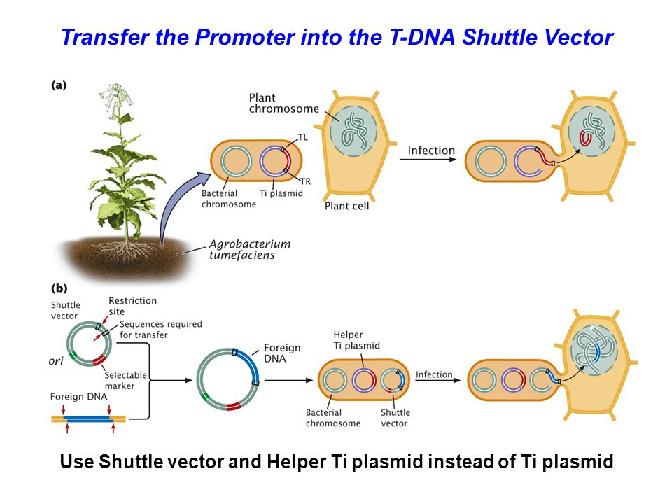 Transfer the Promoter into the T-DNA Shuttle Vector