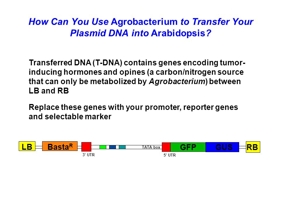 How Can You Use Agrobacterium to Transfer Your Plasmid DNA into Arabidopsis