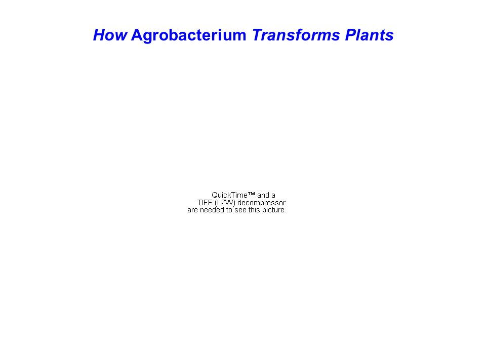 How Agrobacterium Transforms Plants