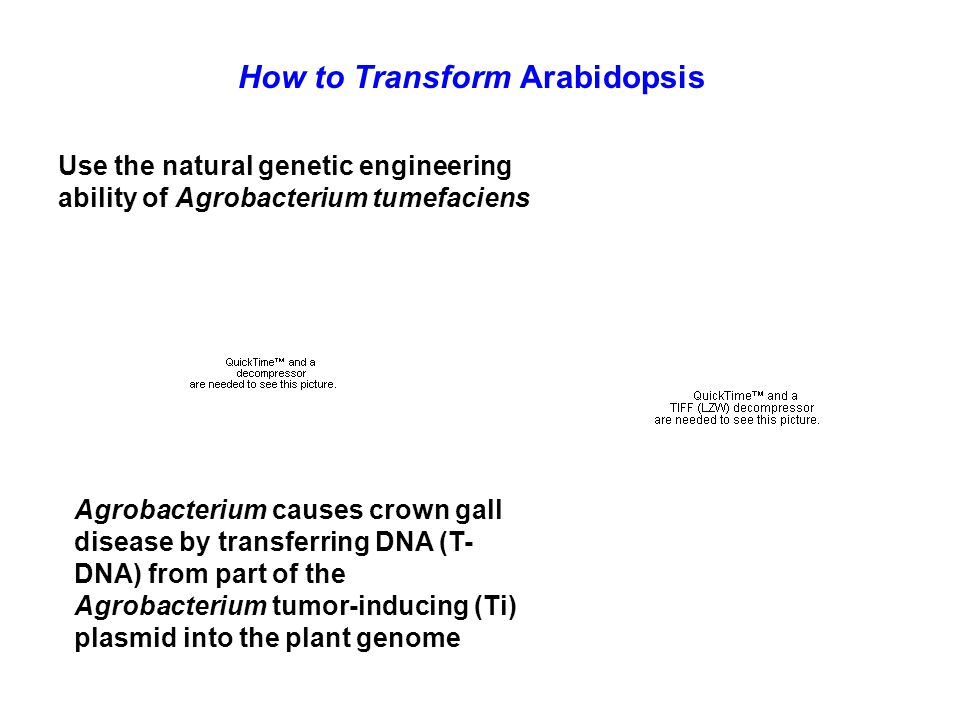 How to Transform Arabidopsis