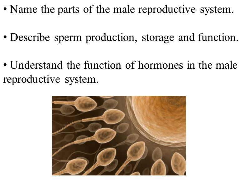 Name the parts of the male reproductive system.
