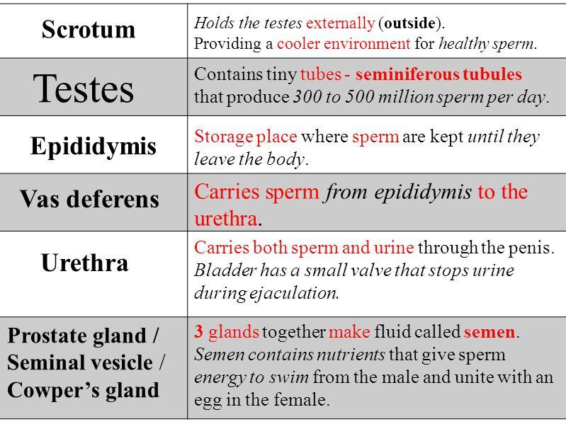Testes Scrotum Epididymis Vas deferens Urethra
