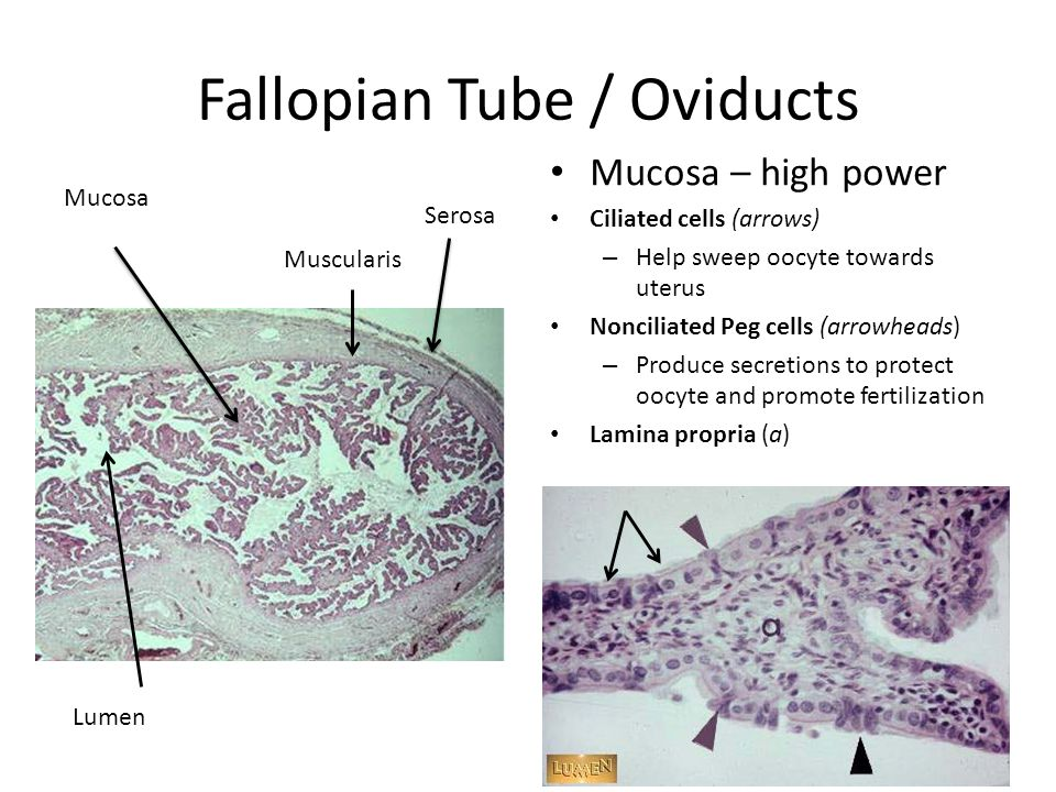 Fallopian Tube / Oviducts
