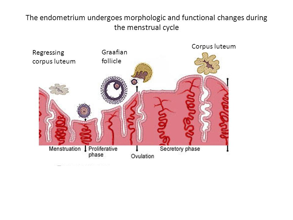 The endometrium undergoes morphologic and functional changes during the menstrual cycle