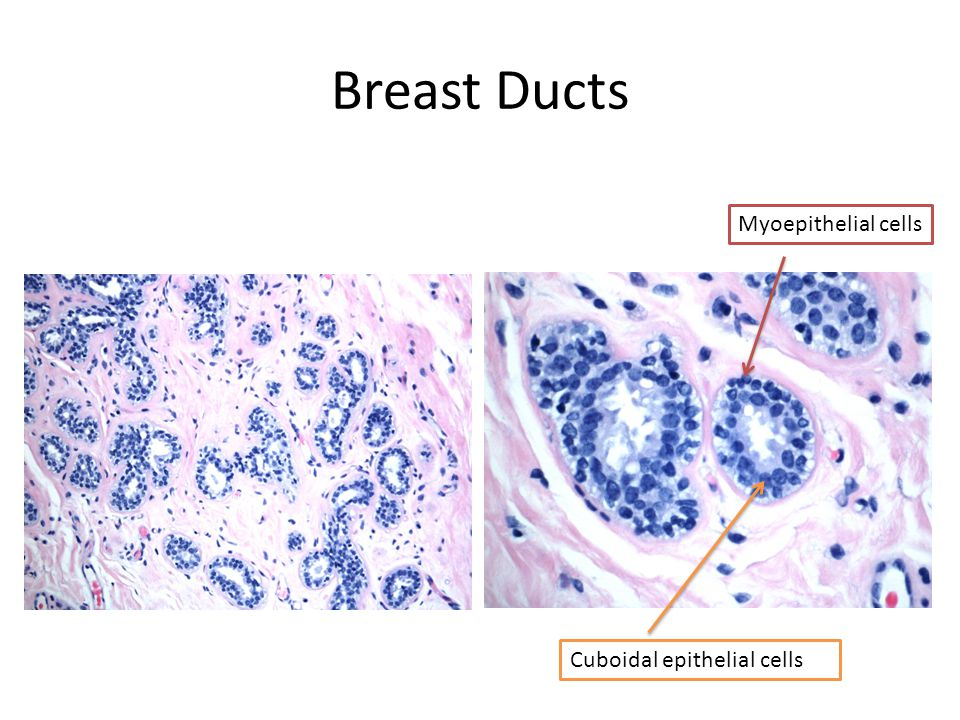 Breast Ducts Myoepithelial cells Cuboidal epithelial cells