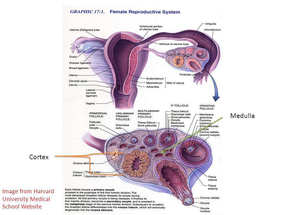 Medulla Cortex Image from Harvard University Medical School Website