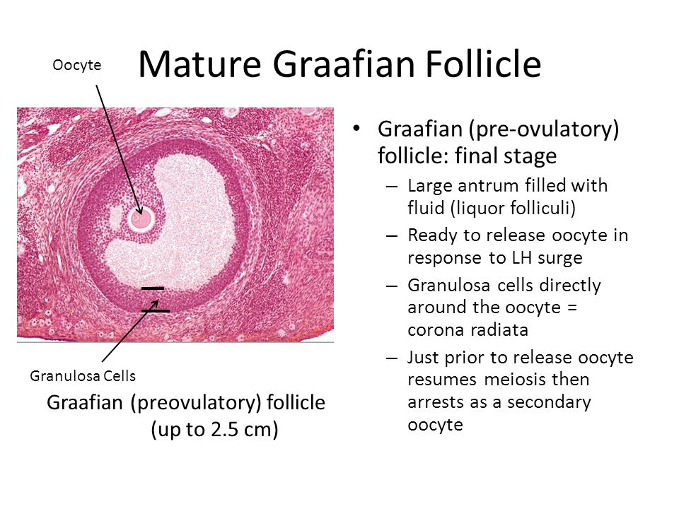 What is the size of a mature follicle