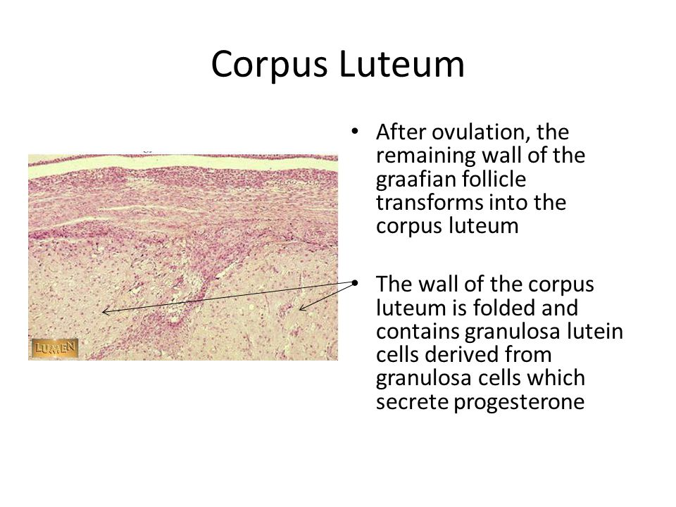 Corpus Luteum After ovulation, the remaining wall of the graafian follicle transforms into the corpus luteum.