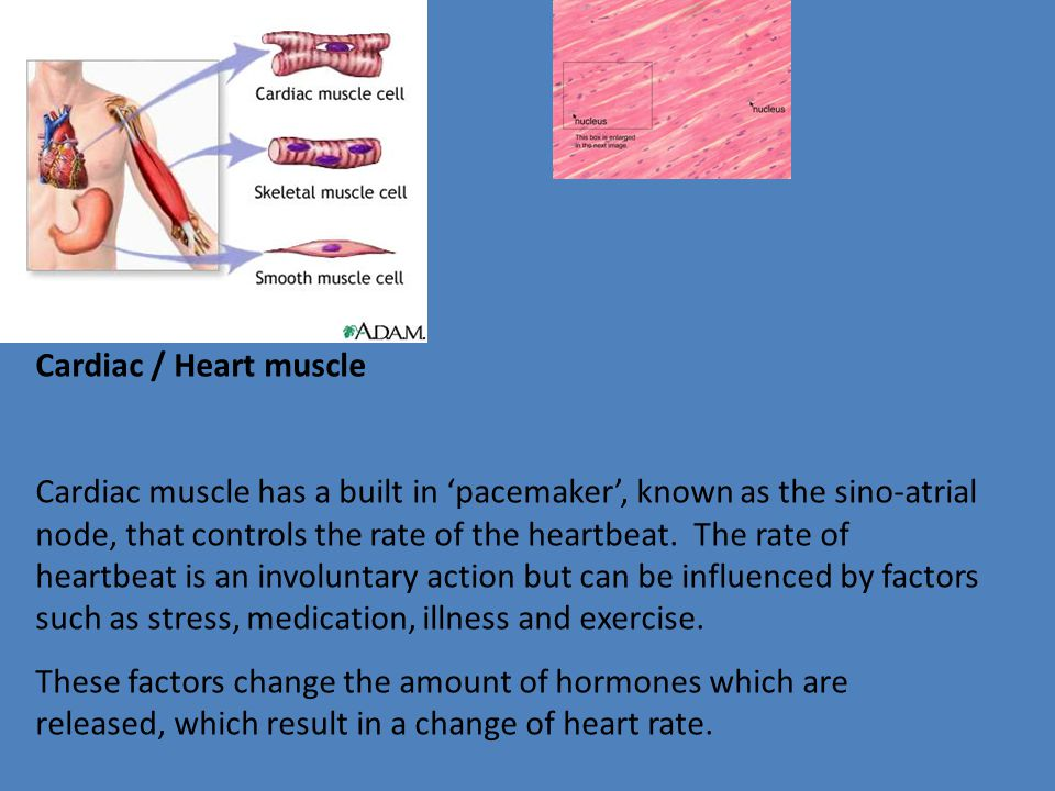 Cardiac / Heart muscle