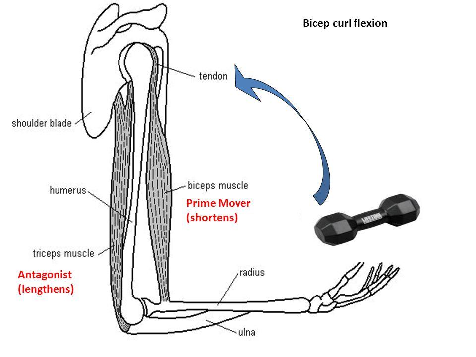 Bicep curl flexion Prime Mover (shortens) Antagonist (lengthens)