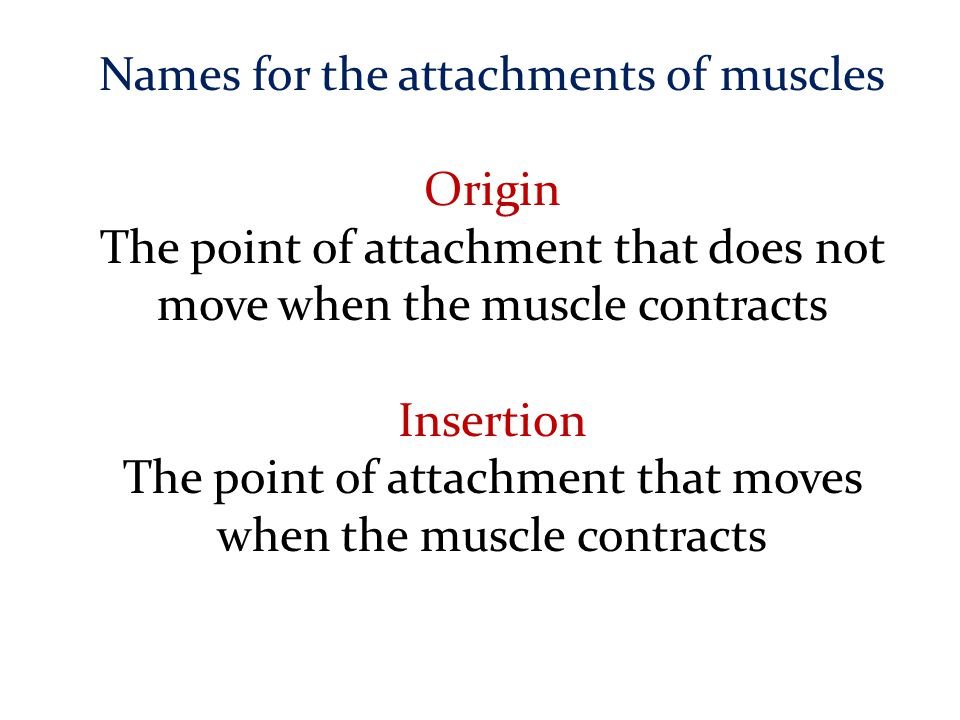 Names for the attachments of muscles Origin