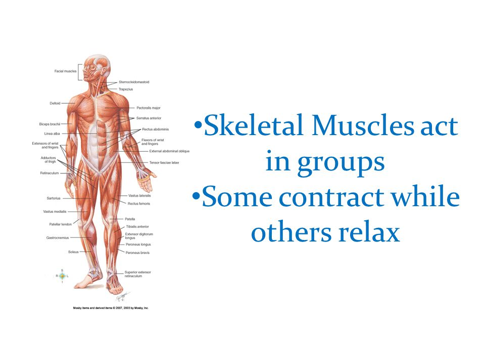 Skeletal Muscles act in groups Some contract while others relax