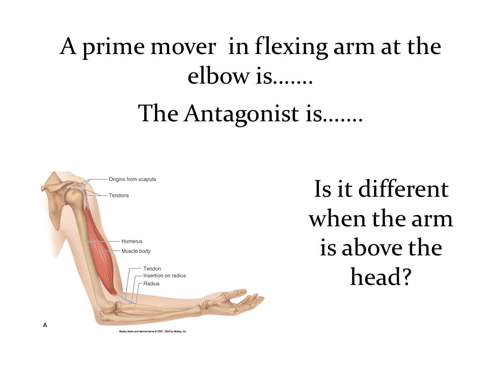 A prime mover in flexing arm at the elbow is……. The Antagonist is…….